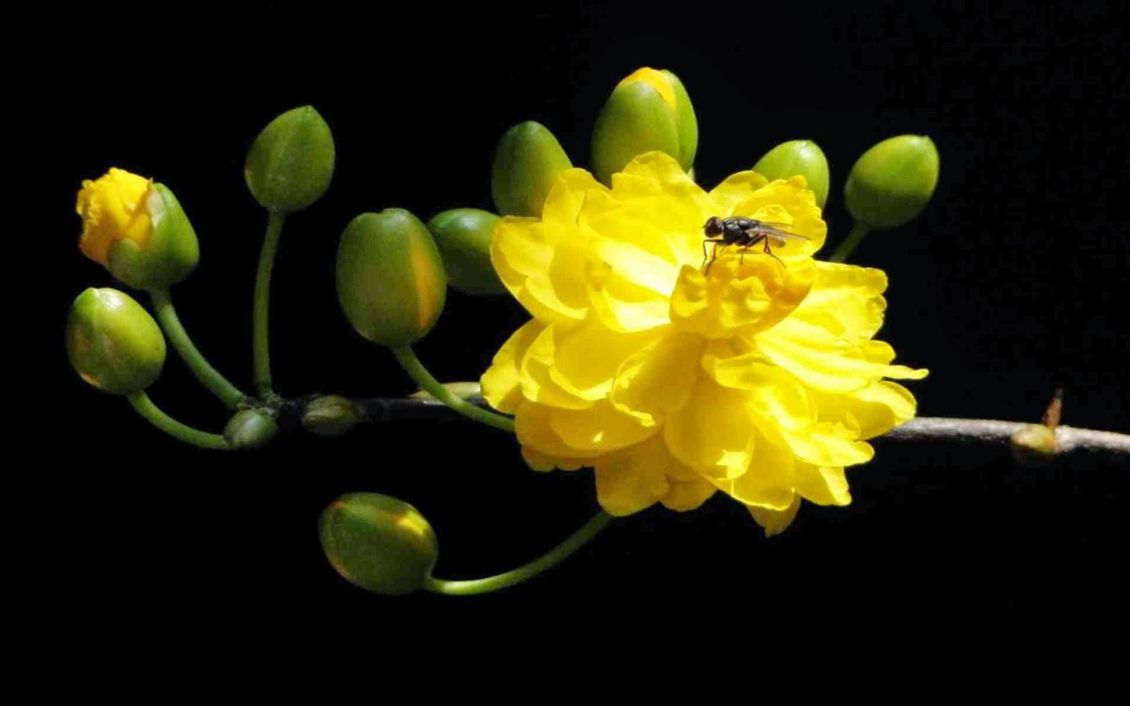 ảnh nền hoa mai tết 2015
