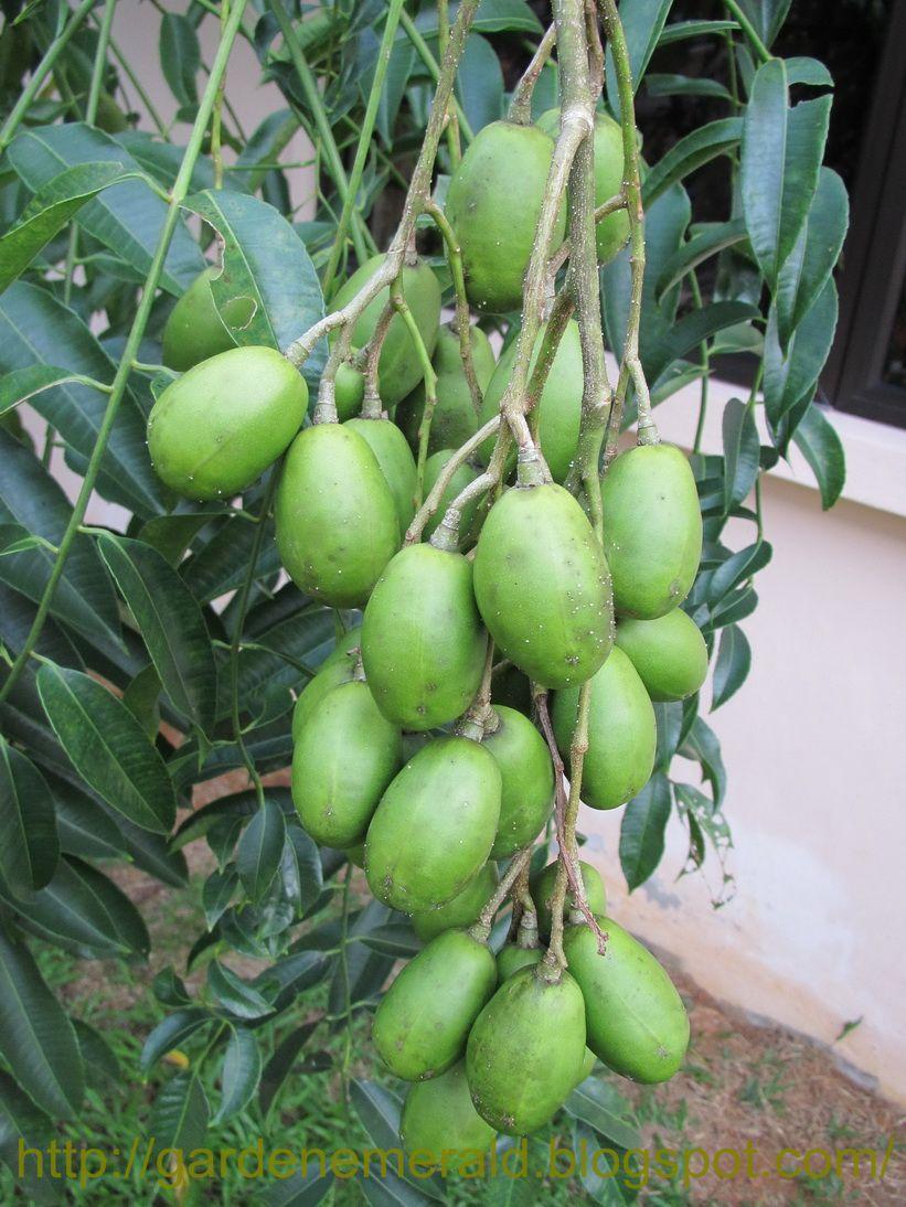 Emerald Garden: Buah Kedondong / Ambarella