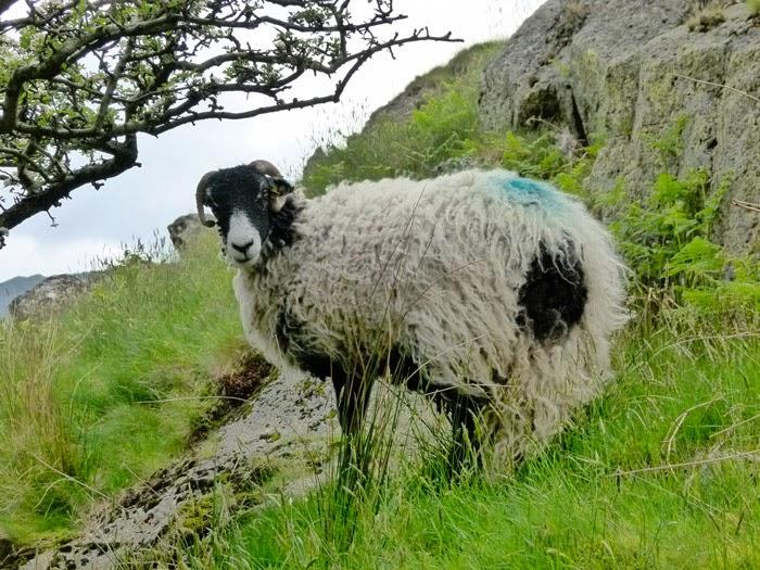 Sheep, hawthorn
