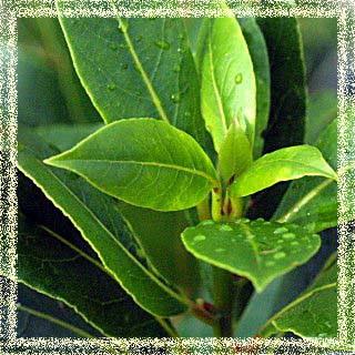 Defne çayı defne baharat defne yaprağı defne yağı defne sabunu