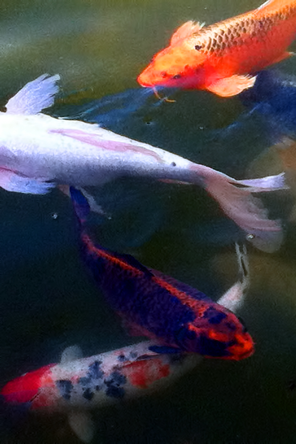The nature of framingham koi in california for Where to buy koi fish near me