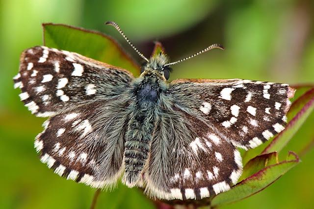 Fotos - Bilder - Tierfotos - Schmetterlinge - Tagfalter - Dickkopffalter - Kleiner Würfel-Dickkopffalter