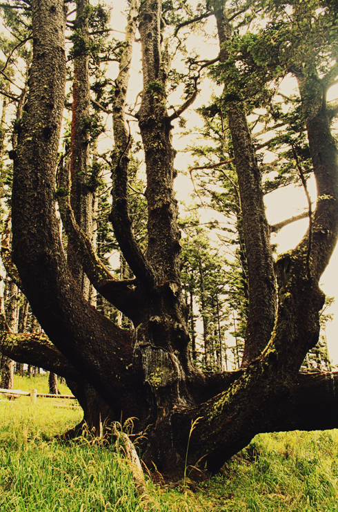 cape meares octopus tree pacific northwest travel photography