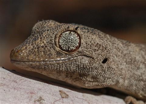 ojos gecko