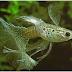 Jenis Ikan Guppy Terbaru Dan Paling Lengkap