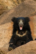 sloth bear at daroji bear sanctuary Teddy bear with claws :) slothbear content web ind