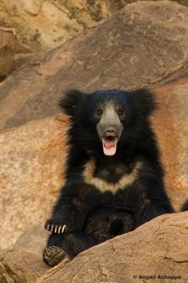 sloth bear at daroji bear sanctuary