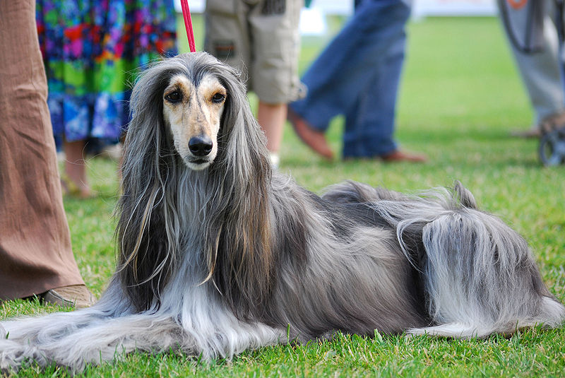 dogs: Afghan Hound Dog