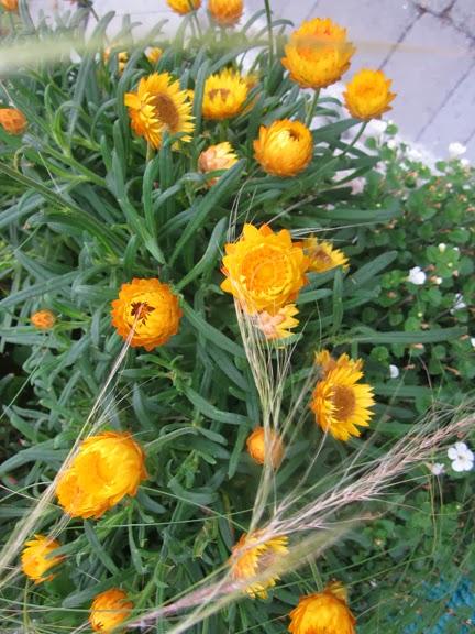 Straw flowers perennial mightylinksfo