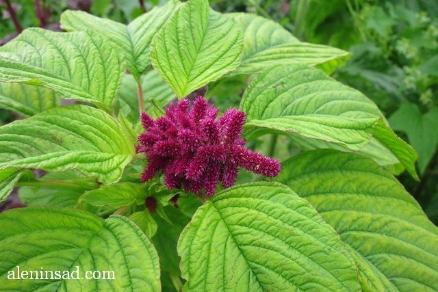 амарант хвостатый, Amaranthus caudatus, аленин сад, цветы, июль