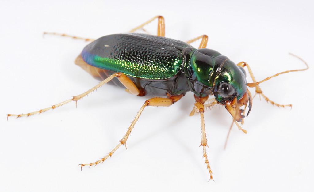 Tiger beetle bite