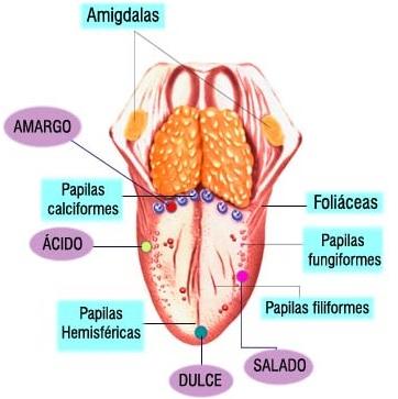 Lengua del cuerpo humano indicando sus papilas linguales
