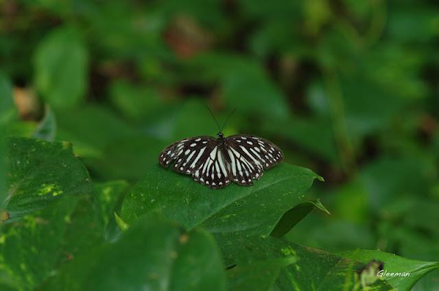雞南山散步,台灣斑眼蝶