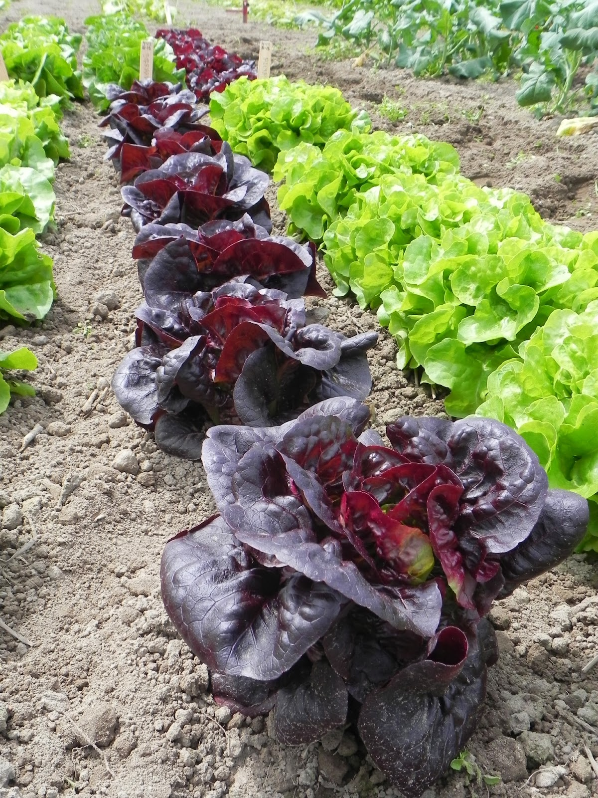 New Fantastic Complementary Lettuces Osborne Seed
