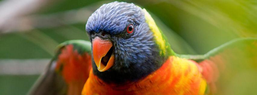 Rainbow lorikeet parrot facebook cover