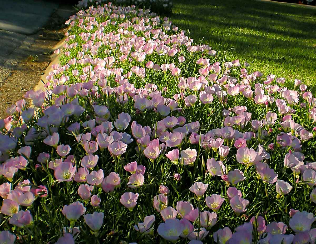 Выращивание энотера розовая 53