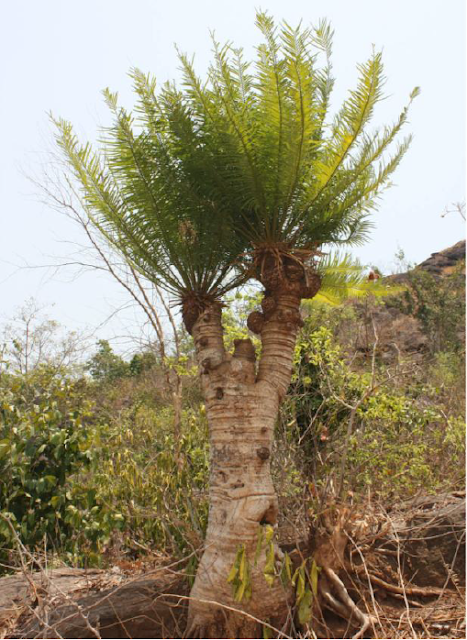 Cycas nayagarhensis,new cycad species, Nayagarh district, Odisha