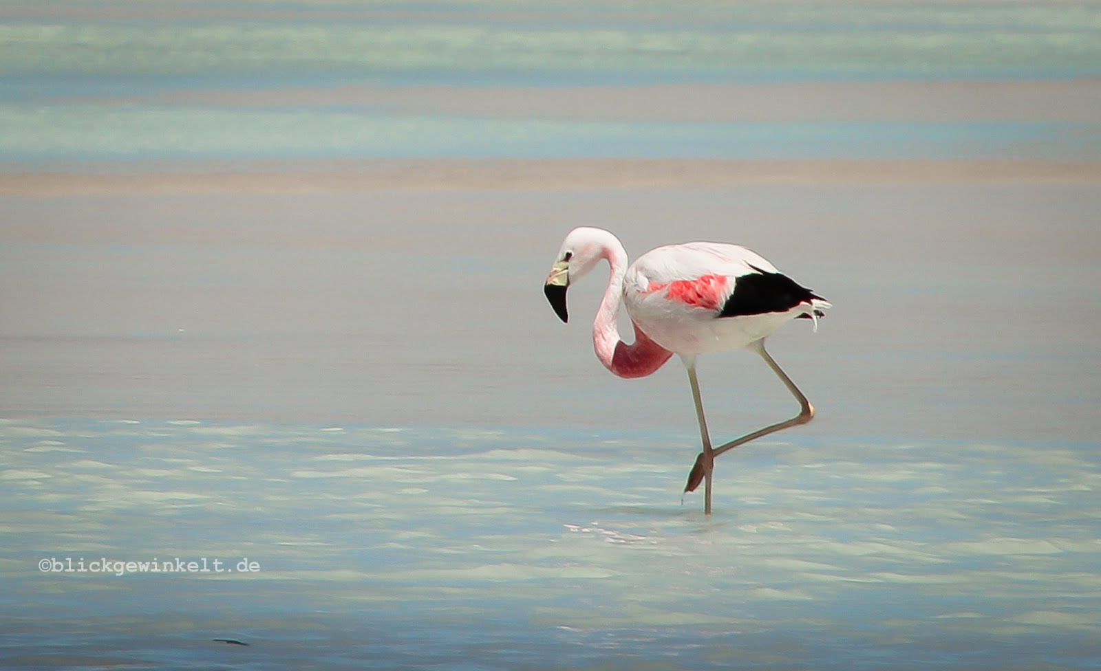 Flamingo, Chile, Atacama