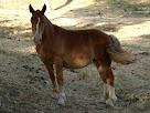 Exemplar de cavall de la finca Perenoguera