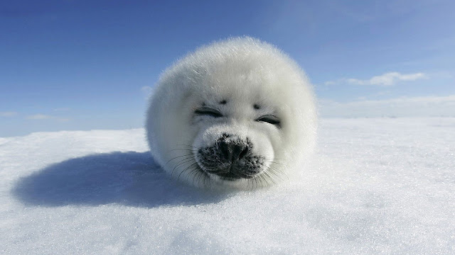 Beautiful animal photo of a cute baby seal resting on the snow