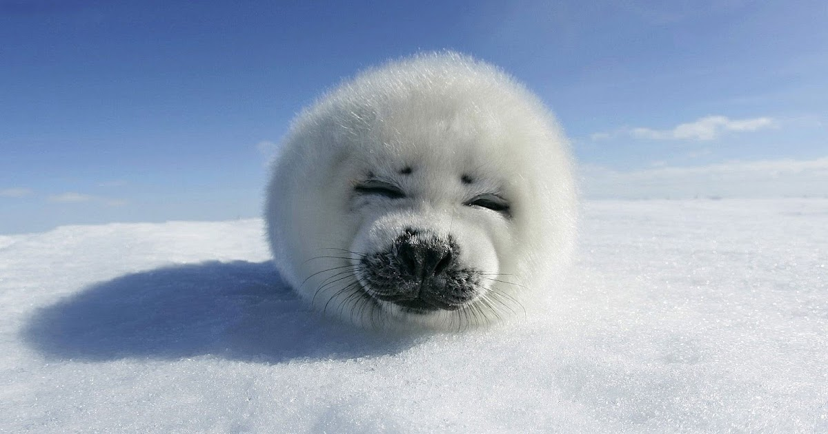 hd-baby-seal-wallpaper-with-a-baby-seal-resting-on-the-snow-hd-seals-wallpapers-backgrounds-pictures-photos.jpg