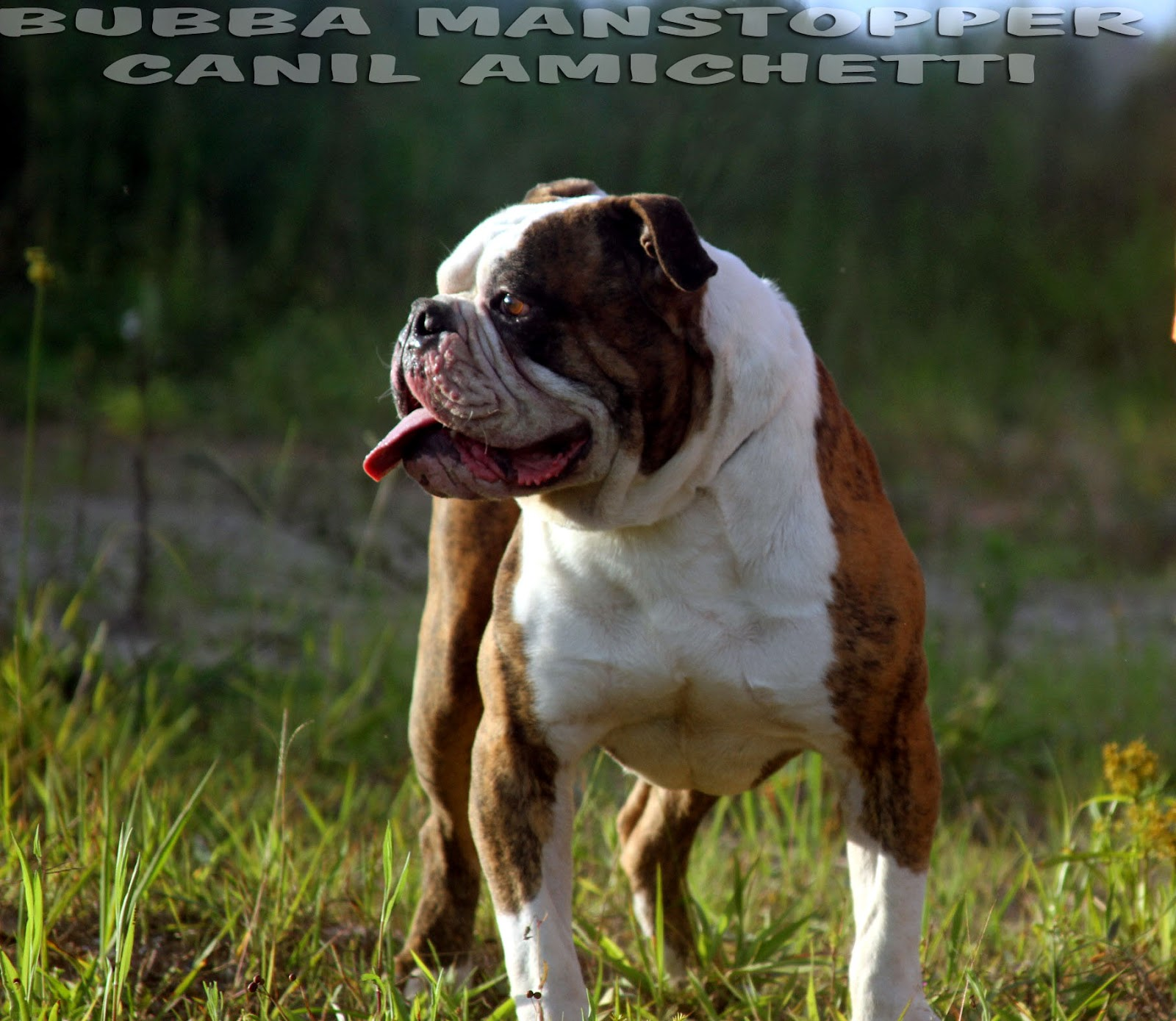 Bully Type American Bulldog Buldogue Americano American Bulldog