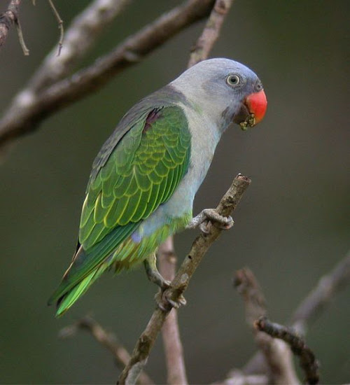 serindit, burung serindit, simbol lambang melayu