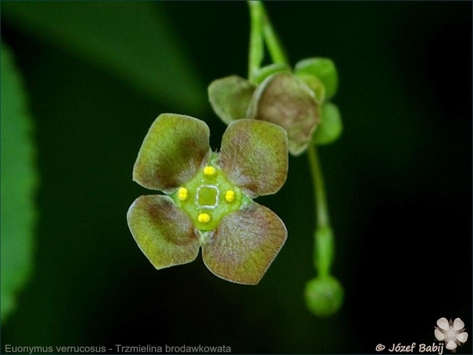 Euonymus verrucosus - Trzmielina brodawkowata kwiat
