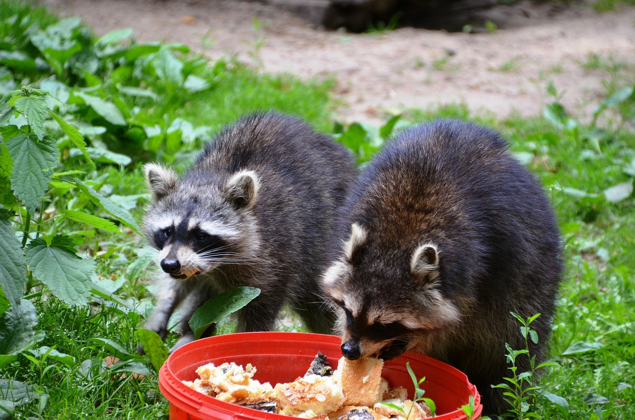 raccoons, rodents, pests #raccoon #wildlife Ducks 'n a Row