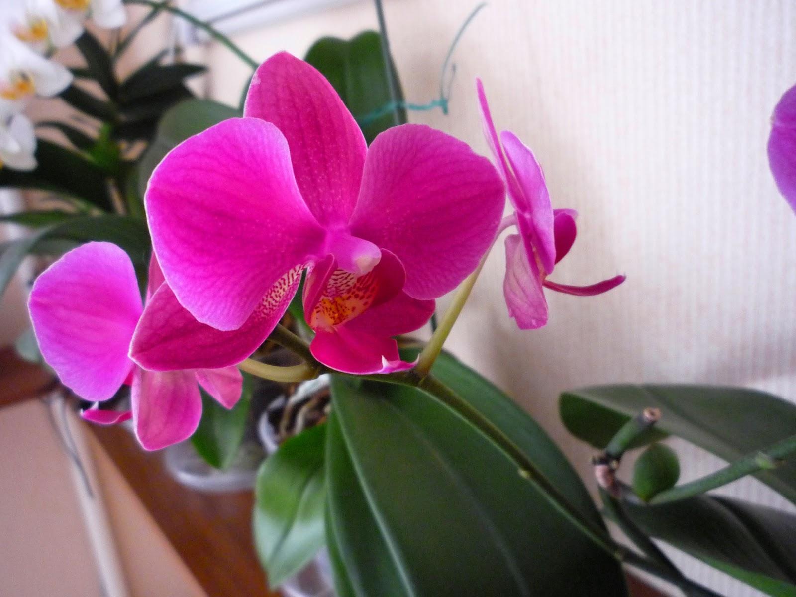 Домашние цветы название и фото орхидея