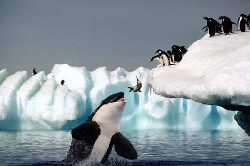 Orca Eating Polar Bear Killer whales eating polar