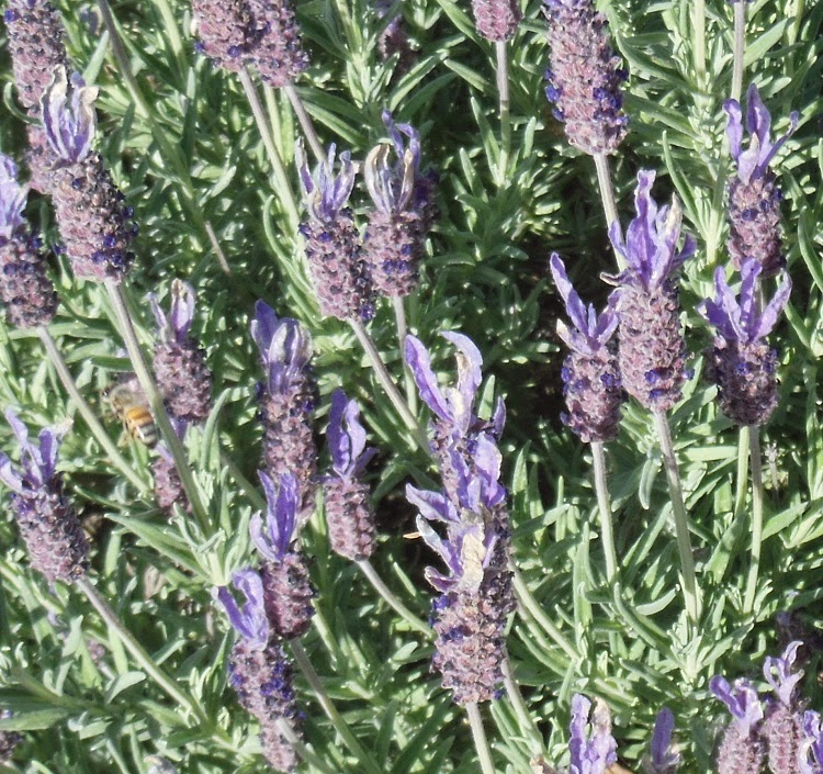 Bee on French Lavender, © B. Radisavljevic