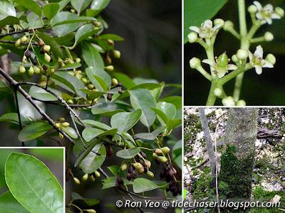 Barat-barat (Cassine viburnifolia)