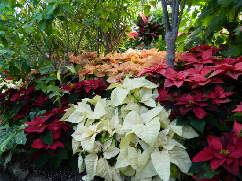 Attractive Poinsettias Tropical Plants At The. Allan Gardens Conservatory 2015  Christmas Flower Show