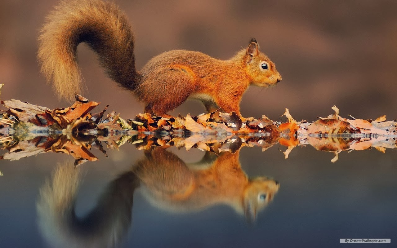 FOREST ELF CUTE SQUIRREL HD WALLPAPERS IMAGE DESCRIPTION