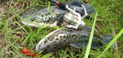 mancing ikan toman raksasa,mancing ikan toman di riau,mancing ikan toman youtube,mancing ikan toman besar,video mancing ikan toman,umpan ikan toman paling jitu,umpan mancing ikan tapah,