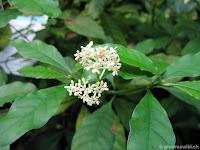 planta ipecac psychotria ipecacuhana