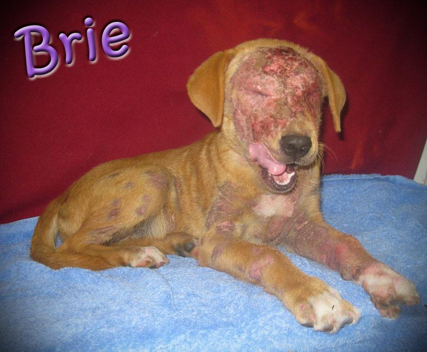 Corgi Bloodhound Mix Breed: lab mix. hw status: n/a