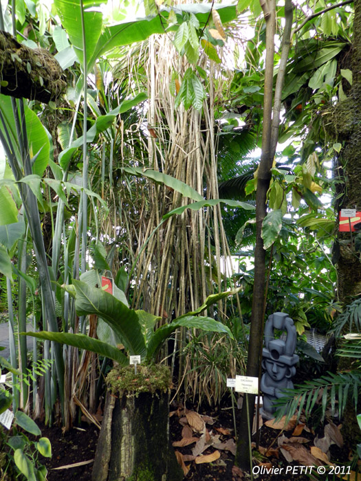 VILLERS-LES-NANCY (54) - Les serres du jardin botanique du Montet-Anthurium gracile