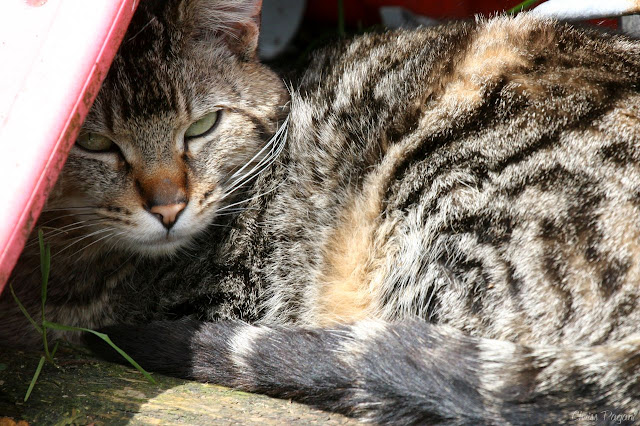 resting tabby tom cat, shading his eyes from the sun