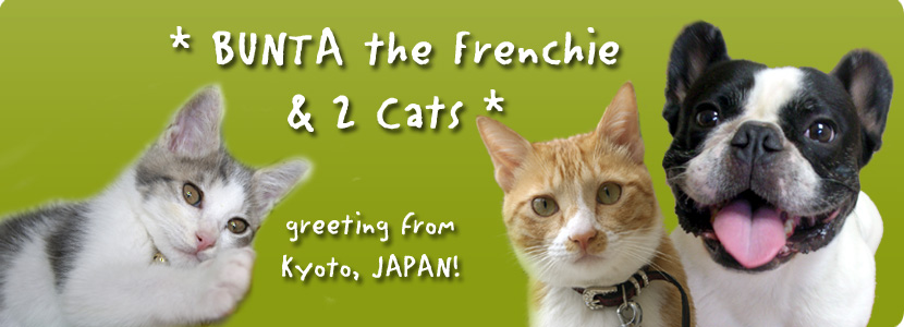 BUNTA the Frenchie & 2 cats