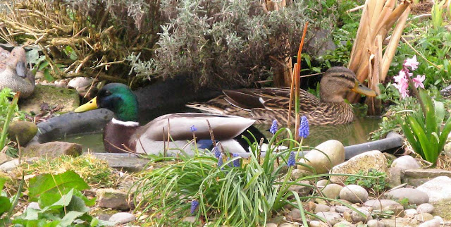Petal and Ringo - paired mallard ducks