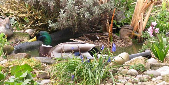 Petal and Ringo - paired mallard ducks