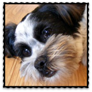 BENNY,<br>OUR HAVANESE