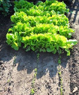 15.08. Августовский салат поспел, сентябрьский салат только подрастает.