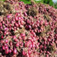 Tips. Cara budidaya bawang merah