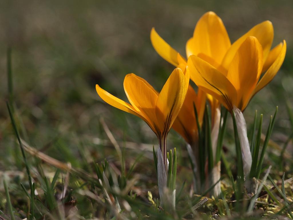 Vi Har Krokus Som Blomstrer I Hagen Det Er Skikkelig Vårtegn Dag