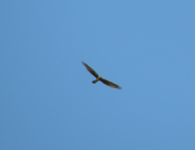 Northern Harrier - Jamaica Bay, New York