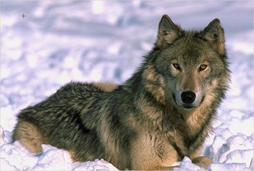 Lobo echado en la nieve