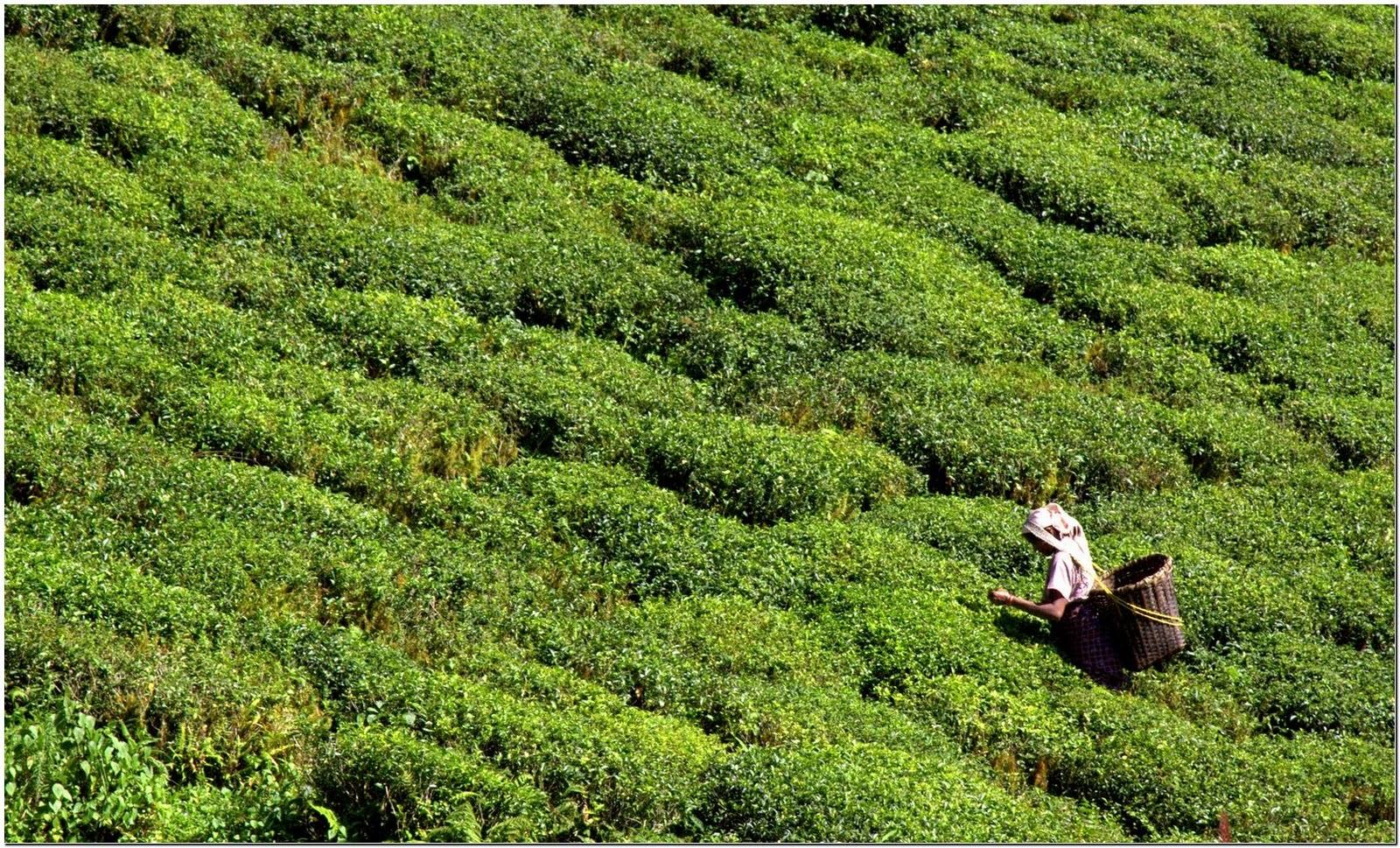 http://1.bp.blogspot.com/-9U4Z8vOZO4w/TZ7odSrOvGI/AAAAAAAAA4w/brKqRTeTl2k/s1600/Darjeeling_Tea_Estate%252C_darjeeling.jpg